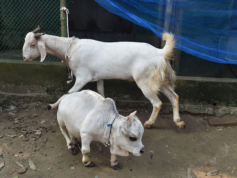 the world's smalles dwarf cow in Bangladesh