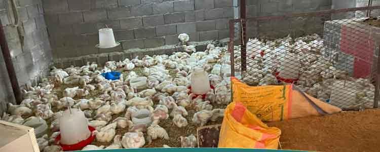 muncipal authorities sieze a poulty site in makkah saudi arabia